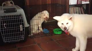 funny dogs japanese akita vs lagotto