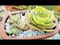 Succulent Care and Maintenance - My Mini Succulent Farm Update
