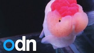Goldfish beauty pageant: China's fish vie for 'Miss Goldfish' crown