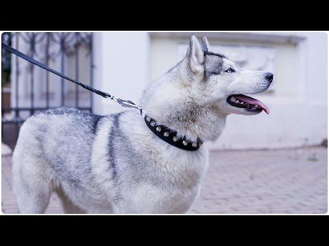 "Beautiful Siberian Husky walking in ""Daily Elegance"" Leather Dog Collar"