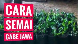 CARA SEMAI CABE JAWA - CABE JAMU