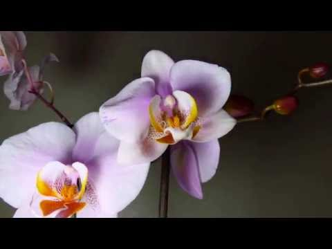 Timelapse Of Orchid