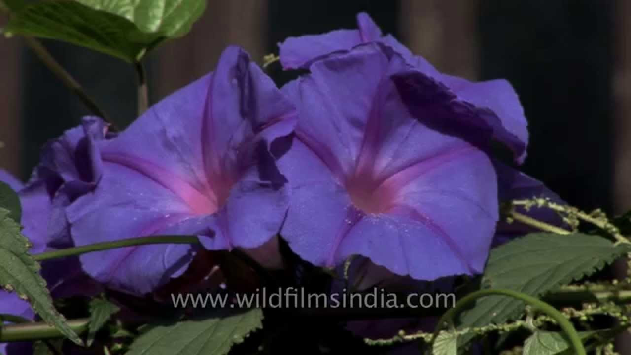 most brilliant blue morning glory growing in india youtube. Black Bedroom Furniture Sets. Home Design Ideas