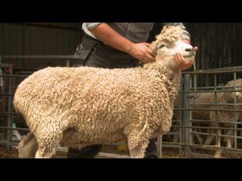 Nolan Brook Cotswold Sheep