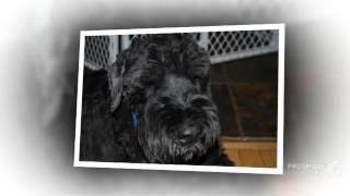 Русский черный терьер порода собак