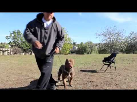 AMERICAN BULLY PIT IN TRAINING