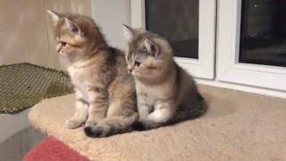 Продажа золотых британских котят, девочка и мальчик