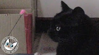 【168】ジャン❤︎ポン 大人の階段を上りつつある猫ポンちゃん 元野良猫の保護里親記録  Jean & Pont, former stray cats.