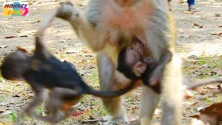 Oh! God! Dolly monkey catching Lori baby like this may break her arm Poor Lori baby Monkey Daily 294