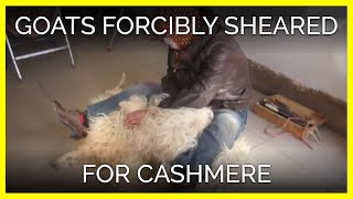 Goats Forcibly Sheared for Cashmere