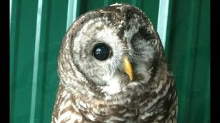 LIVE: Blind Rescue Owl Hooting & Cooling Off at Bird Sanctuary | The Dodo Live