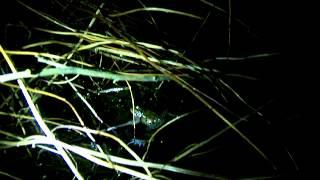 Frog Breeding Chorus