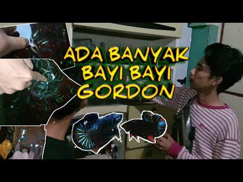 Ikan Cupang Avatar Gordon Harga 1 Juta Cupang Medan Youtube