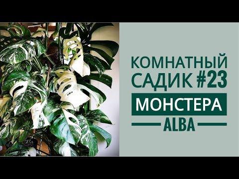 Комнатный садик #23 // МОНСТЕРА Alba// Посадка черенков