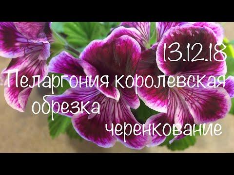 Пеларгония королевская 13.12.18 Зимняя обрезка пеларгонии королевской