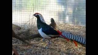 видео Алмазный фазан