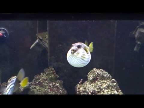 Saltwater's Puffer Fish