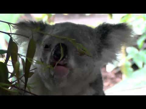 Cairns Tropical Zoo - Koala