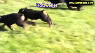 Rottweiler, Puppies, For, Sale, In, Billings, Montana, Mt, Missoula, Great  Falls, Bozeman