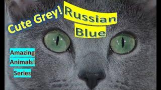 Russian Blue | Amazing Animals | Pet Cats