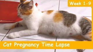 CAT PREGNANCY TIME LAPSE WEEK 1-9 (4 KITTENS)   PERKEMBANGAN KUCING HAMIL MINGGU 1-9   Paw Pawers