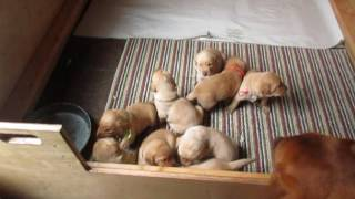 Gotta Be Labradors - Tinder X Sam litter, three old week old puppy play time