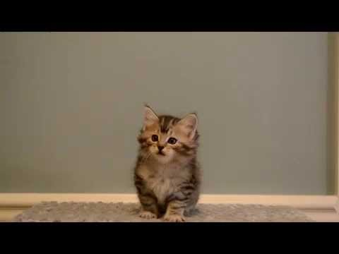 6 week old American Bobtail Kitten