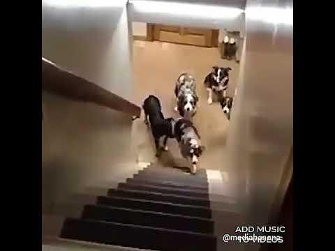 Собаки на лестнице