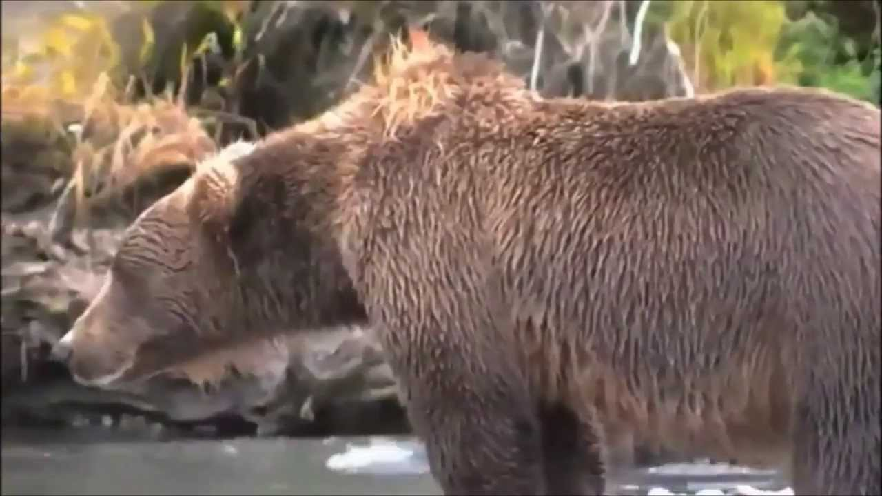Bear Gets Heart Attack Caught On Camera YouTube - This bear is rolling down a hill is having the time of his life