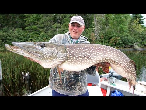 Giant Pike Of Lake St  Joseph!