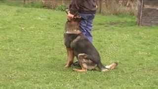 Cherokee Hexer  - B - Obedience Training