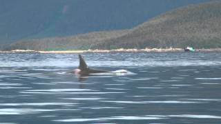 Killer Whale (Orcas) Sightings on July 10th, 2014 near Juneau, Alaska
