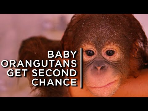 Baby orangutans get a second chance at life at Borneo orphanage