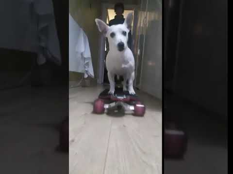 champion skateboard rider jock the dog