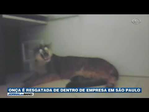 Onça é Resgatada De Dentro De Empresa Em São Paulo