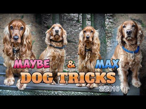 Maybe & Max | English Cocker Spaniels | Dog tricks | 3/2016
