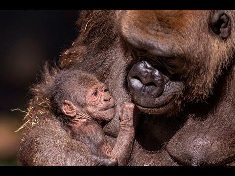 Gorilla Mom Bonds With Newborn