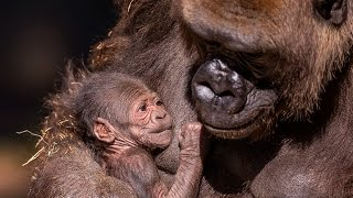 Gorilla Mom Bonds With Newborn