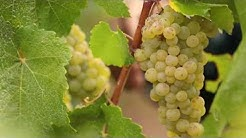 Wine Harvest in the South Willamette Valley