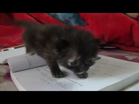 kittens meowing and walking -cute cat video
