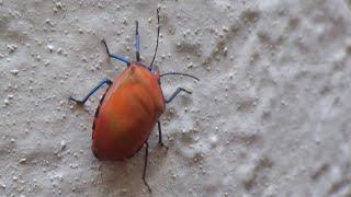 AwA Female Hibiscus Harlequin Stink Bug