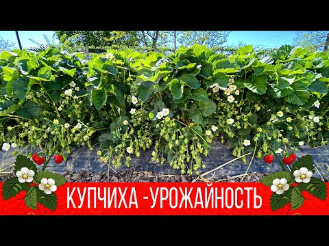 Земклуника Купчиха -урожайность и что осталось после весенних заморозков