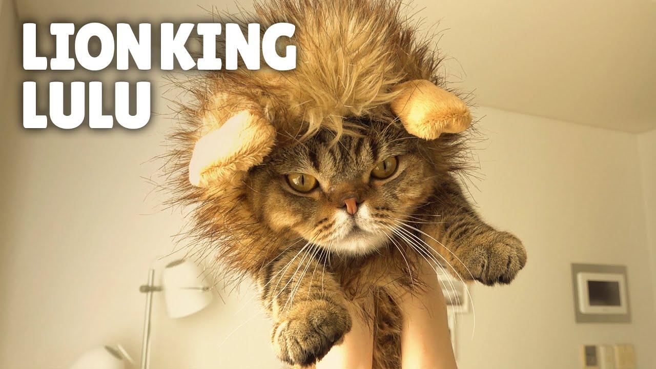 Cats vs Lion