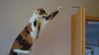 Смешные кошки - Кошка танцует и выпрашивает вкусняшку - смешное видео с кошками 2013