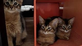 питомник сомалийских кошек Sable Klan