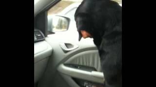Rottweiler Gabee Listening To Nature Sounds