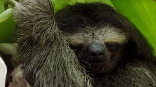 Life as a Pygmy Sloth | Planet Earth II | BBC Earth