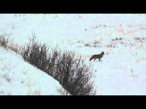 """Montana """"Coyote Hunting"""" (Miss December)"""