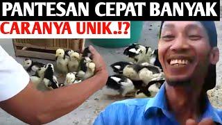 Ternak Ayam Kampung| Cepat Banyak