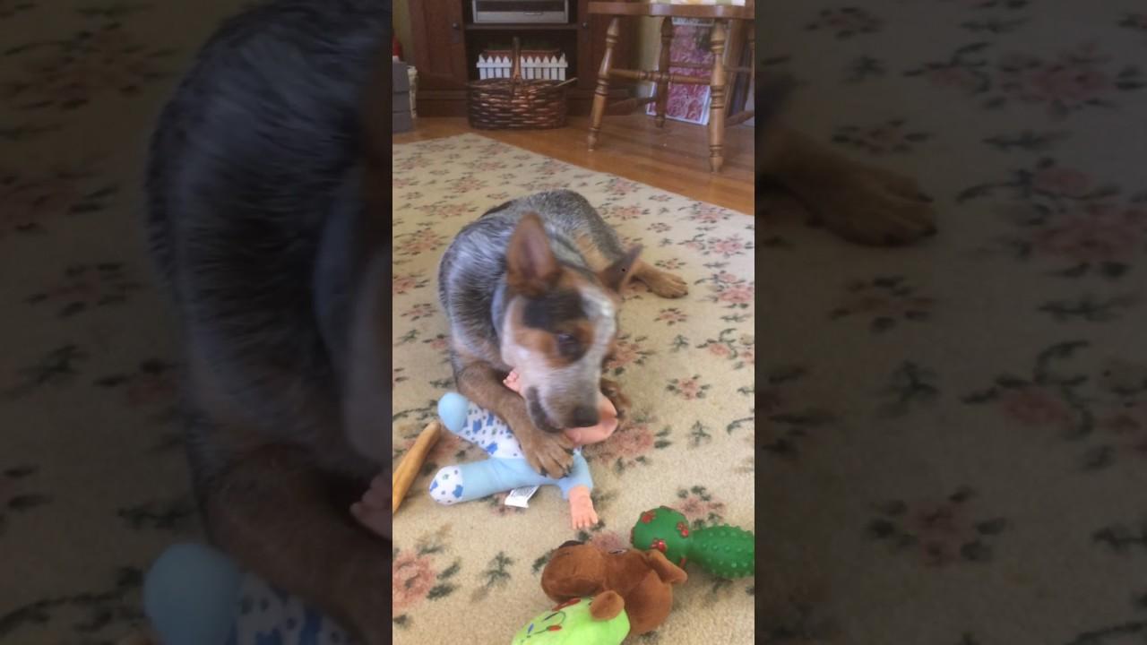 dingo eats baby youtube